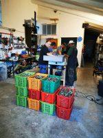 Oliven werden gereinigt | Casa Ray Poggio Agliai