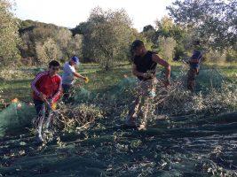 Erntehelfer bei Olivenernte | Casa Ray Poggio Agliai